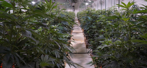 Cannabis Cultivation Operation